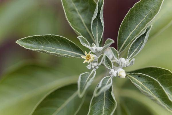 Ashwagandha flor